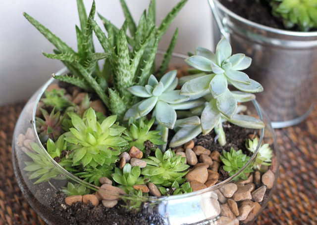 I also did some research on succulents, since I've never grown them before.  It's important that you get the correct potting soil and provide good  drainage, ...